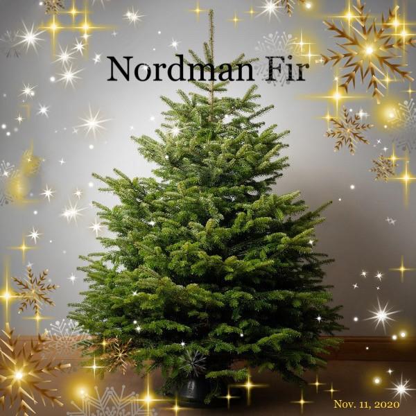 Cut Nordman Fir Christmas Tree