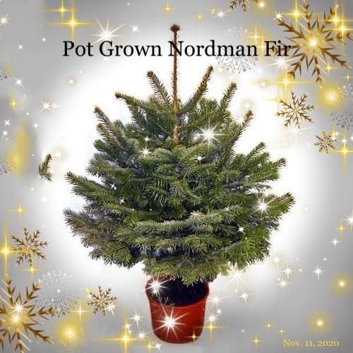 Pot Grown Nordman Fir Christmas Tree