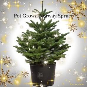 Pot Grown Norway Spruce Christmas Tree